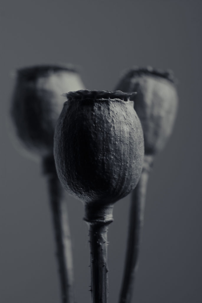 Macro photo of poppy seedheads